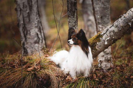 Profile Portrait of adorable white and brindle dog breed papillon lying under the tree in the forest in the fall. Continental toy