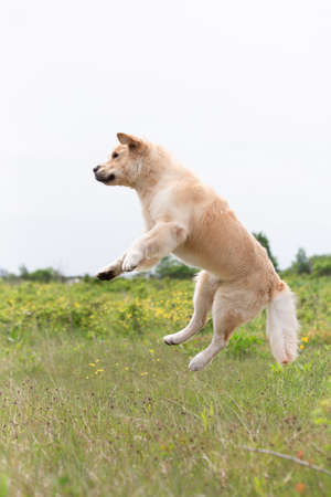 Funnt and crazy Golden Retriever retriever jumping in the field in summer Stock Photo