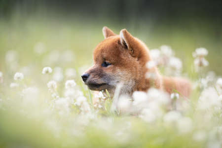 Profile Portrait of beautiful and happy red shiba inu puppy sitting in the green grass and white flowers in summer. Cute and adorable japanese red dog posing in the meadow. Stockfoto