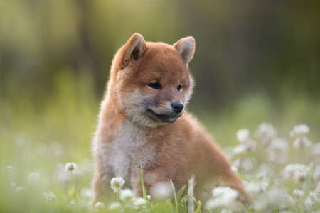 Close-up Portrait of beautiful and happy red shiba inu puppy sitting in the green grass and white flowers in summer. Cute and adorable japanese red dog posing in the meadow.