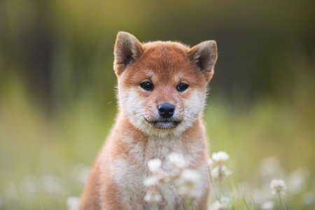 Close-up Portrait of beautiful and happy red shiba inu puppy sitting in the green grass and white flowers in summer. Cute and funny japanese red dog posing in the meadow.