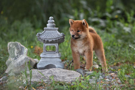 Portrait of beautiful and happy red shiba inu puppy standing in the green grass in summer. Cute and adorable japanese red dog.