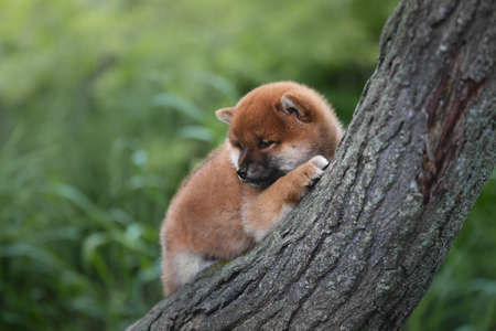 Profile Portrait of beautiful and happy red shiba inu puppy posing on the tree in summer. Cute and adorable japanese red dog