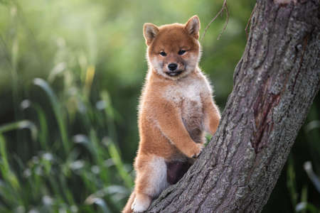 Portrait of beautiful and happy red shiba inu puppy posing on the tree in summer. Cute and adorable japanese red dog