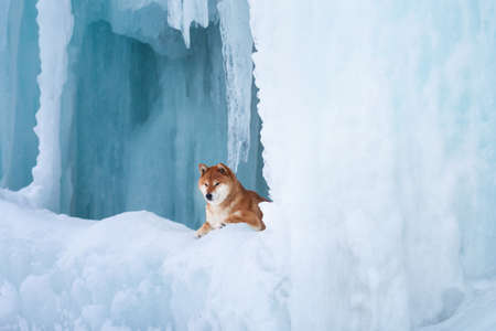Profile Portrait of gorgeous, beautiful shiba inu dog lying in front of icefall at frozen seaside. Image of red shiba inu dog is lying on the snow. Japanese dog in the frozen cave
