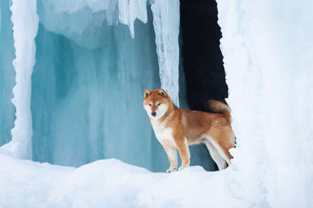 Profile Portrait of gorgeous, beautiful shiba inu dog standing in front of icefall at frozen seaside. Image of red shiba inu dog is standing on the snow. Japanese dog in the frozen cave