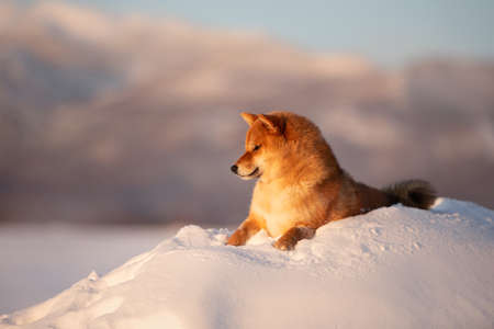 Close-up Portrait of adorable red shiba inu dog outside at sunset in winter. Beautiful and gorgeous japanese shiba inu puppy lying in the snow field on mountain background