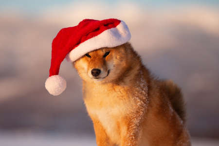 Close-up Portrait of cute and happy red shiba inu dog sitting in the winter field, wearing red christmas santa claus hat at golden sunset 写真素材