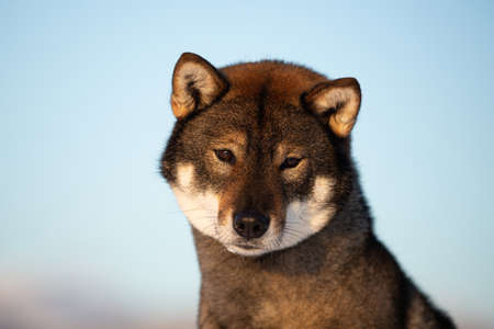 Close-up portrait of cute and beautiful japanese dog breed shikoku sitting outside in winter on blue sky background