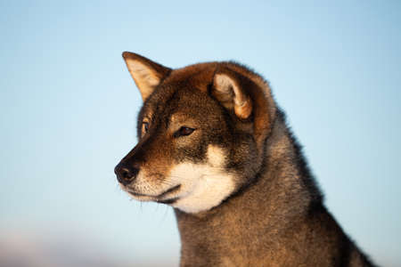 Profile portrait of cute and beautiful japanese dog breed shikoku sitting outside in winter on blue sky background