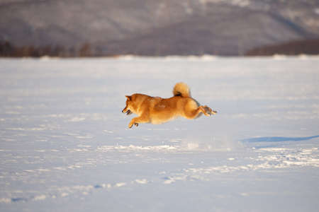 Portrait of cute and funny shiba inu puppy running on the snow in the winter field. Lovely japanese red shiba inu dog on mountain background. Sunny day