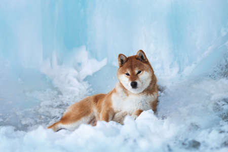 Portrait of gorgeous, beautiful shiba inu dog lying in front of icefall at frozen seaside. Image of red shiba inu dog is lying on the snow. Japanese dog in the frozen cave