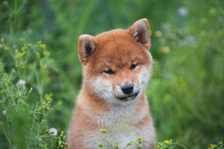 Close-up Portrait of beautiful and happy red shiba inu puppy sitting in the green grass and flowers in summer. Cute and funny japanese red dog posing in the meadow.