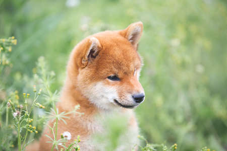 Profile Portrait of beautiful and happy red shiba inu puppy sitting in the green grass and flowers in summer. Cute and funny japanese red dog posing in the meadow.