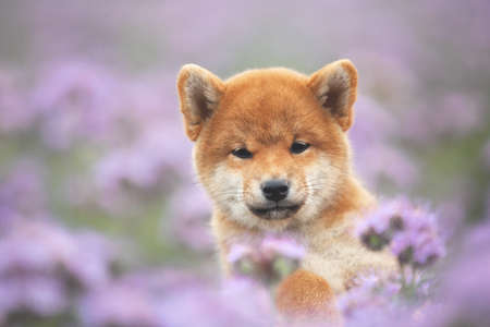 Close-up Portrait of beautiful and happy red shiba inu puppy sitting in the green grass and violet flowers in summer. Cute and funny japanese red dog posing in the phacelia meadow. Phacelia blossoms 写真素材