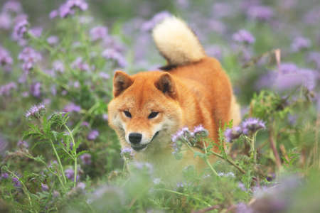 Cute and happy red shiba inu dog running in the violet flowers field. Phacelia blossoms. Portrait of Beautiful japanese dog