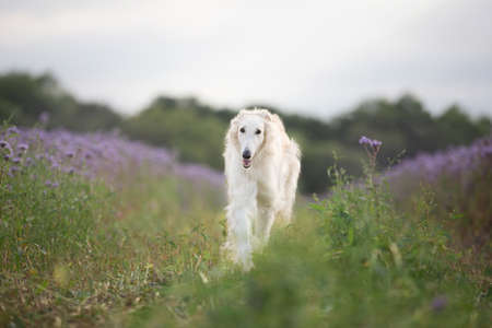 Portrait of young and happy beige dog breed russian borzoi running in the violet flowers field in summer. Beautiful and gorgeous russian borzoi dog. Phacelia blossom