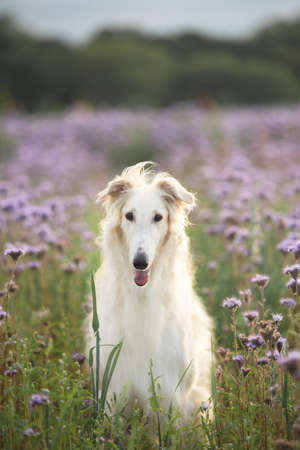 Portrait of beautiful dog breed russian borzoi standing in the green grass and violet lupines field in summer