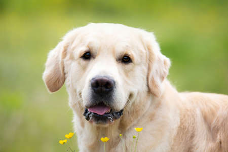 Close-up portrait of cute golden retriever dog in the green grass and flowers background in summer