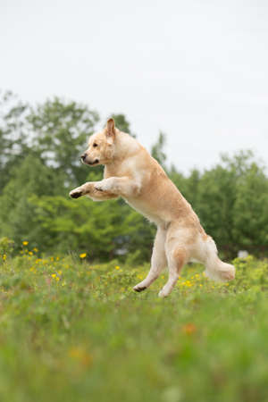 Funny and crazy Golden Retriever retriever jumping in the field in summer