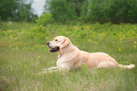 Profile portrait of cute golden retriever dog lying in the green grass and flowers background in summer