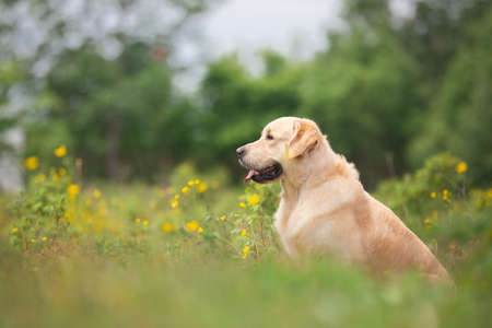 Profile portrait of cute golden retriever dog sitting in the green grass and flowers background in summer 写真素材