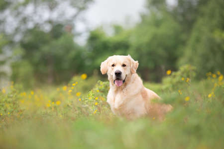 Portrait of cute golden retriever dog sitting in the green grass and flowers background in summer