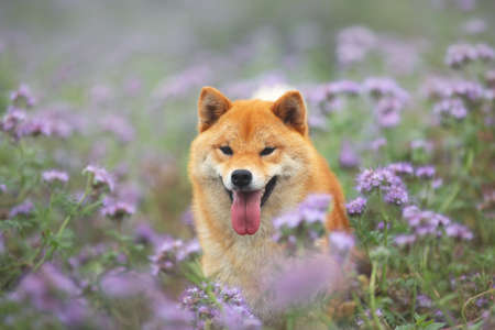 Gorgeous, Cute and happy red shiba inu dog posing in the violet flowers field. Phacelia blossoms. Portrait of Beautiful japanese dog 写真素材