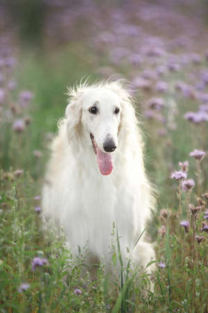 Profile Portrait of gorgeous dog breed russian borzoi standing in the green grass and violet phacelia field in summer 写真素材
