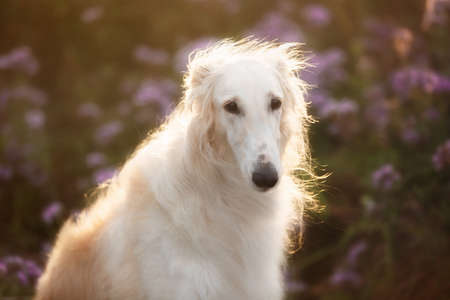 Portrait of beautiful and happy dog breed russian borzoi standing in the green grass and violet phacelia field in summer