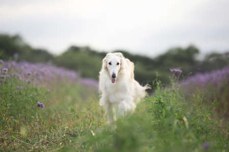 Portrait of happy beige dog breed russian borzoi running in the violet flowers field in summer. Beautiful and gorgeous russian borzoi dog. Phacelia blossom