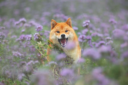Crazy, Cute and happy red shiba inu dog running in the violet flowers field. Phacelia blossoms. Portrait of Beautiful japanese dog
