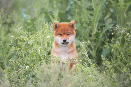 Portrait of beautiful and lovely red shiba inu puppy sitting in the green grass and flowers in summer. Cute and funny japanese red dog posing in the meadow.