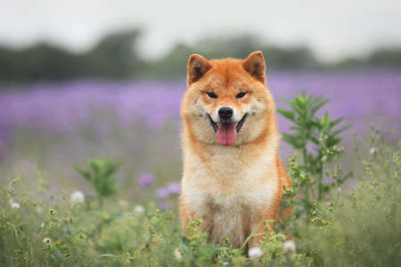 Gorgeous, Cute and happy red shiba inu dog sitting in the violet flowers field. Phacelia blossoms. Portrait of Beautiful japanese dog.