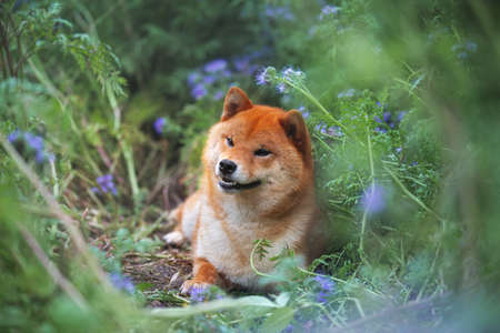 Gorgeous, Cute and happy red shiba inu dog lying in the violet flowers field. Phacelia blossoms. Portrait of Beautiful japanese dog.