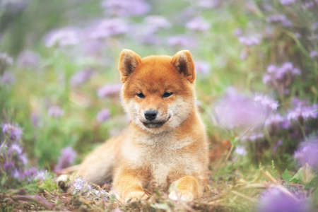 Close-up Portrait of beautiful and happy red shiba inu puppy lying in the green grass and violet flowers in summer. Cute and lovely japanese red dog posing in the phacelia meadow. Phacelia blossoms 写真素材