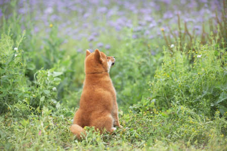 Profile Portrait of beautiful and happy red shiba inu puppy sitting back to the camera in the green grass and violet flowers in summer. japanese red dog posing in the phacelia meadow. Phacelia blossoms