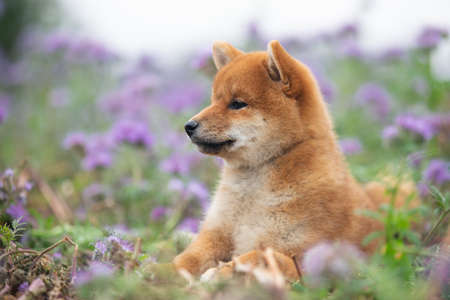 Profile Portrait of beautiful and happy red shiba inu puppy lying in the green grass and violet flowers in summer. Cute and lovely japanese red dog posing in the phacelia meadow. Phacelia blossoms