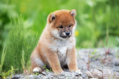Profile Portrait of beautiful and happy red shiba inu puppy sitting in the green grass in summer. Cute and adorable japanese red dog.
