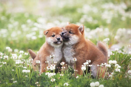 Portrait of two funny and happy red shiba inu puppies sitting in the green grass and white flowers in summer. Cute and adorable japanese red dogs