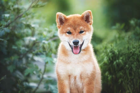 Close-up Portrait of beautiful and happy red shiba inu puppy sitting in the green grass and bush in summer. Cute and adorable japanese red dog posing in the forest. 写真素材