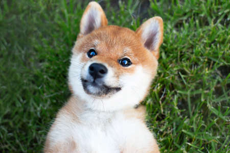 Portrait of Funny and happy Shiba Inu puppy Smiles at the Camera. Red japanese shiba inu dog lying on its back 写真素材