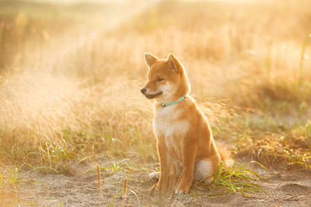 Portrait of cute and happy Red Shiba Inu Puppy Dog Sitting Outdoor In Grass During golden Sunset. Adorable Young Japanese shiba inu dog sitting in the meadow in summer 写真素材