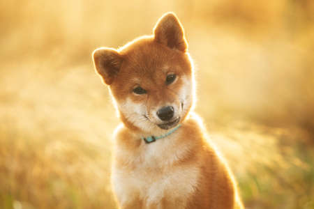 Close-up portrait of cute and beautiful Red Shiba Inu Puppy Dog Sitting Outdoors In the grass at golden Sunset. Young Japanese shiba inu dog sitting in the meadow in summer 写真素材