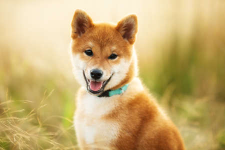 Close-up portrait of cute and happy Red Shiba Inu Puppy Dog Sitting Outdoors In the grass at golden Sunset. Young Japanese shiba inu dog sitting in the meadow in summer 写真素材