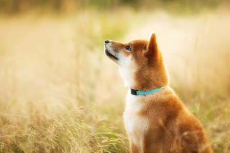 Close-up Portrait of cute and happy red shiba inu dog sitting outdoors at golden sunset. Profile image of Beautiful Young Japanese shiba inu dog sitting in the meadow in summer