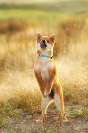 Portrait of Funny and crazy red shiba inu puppy jumping in the meadow at golden sunset. Young Japanese shiba inu dog standing on its hind legs