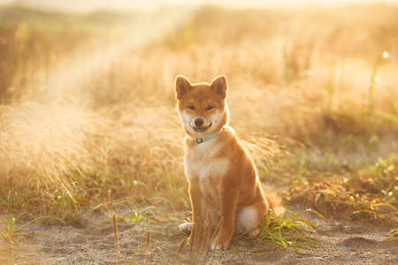 Portrait of cute and happy red shiba inu dog sitting outdoors at golden sunset. Beautiful Young Japanese shiba inu dog sitting in the meadow in summer
