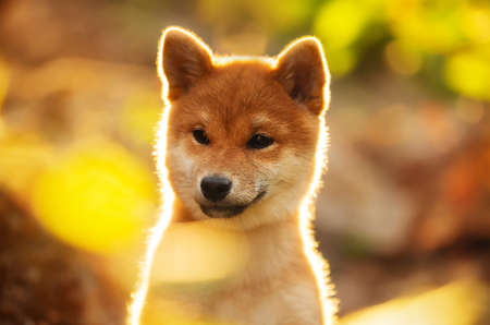 Close-up Portrait of beautiful shiba inu puppy sitting in the forest at golden sunset. Cute Red shiba inu female dog in autumn