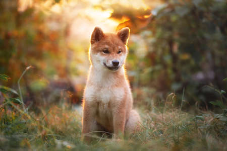 Portrait of beautiful shiba inu puppy sitting in the forest at golden sunset. Cute Red shiba inu female dog in autumn